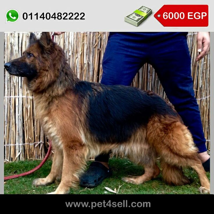German shepherd female 3years imported from Poland with