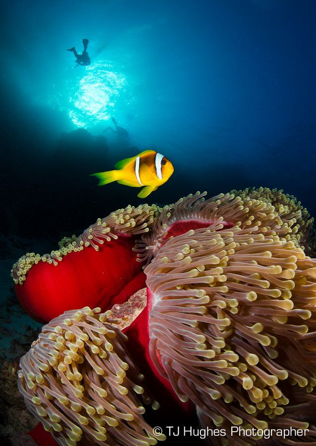 A clown fish (Amphiprion bicinctus) shot at 'Nemo City' off the coast of Marsa Shagra in Egypt.