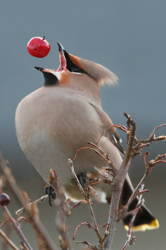 Cedar Waxwing eating a berry.