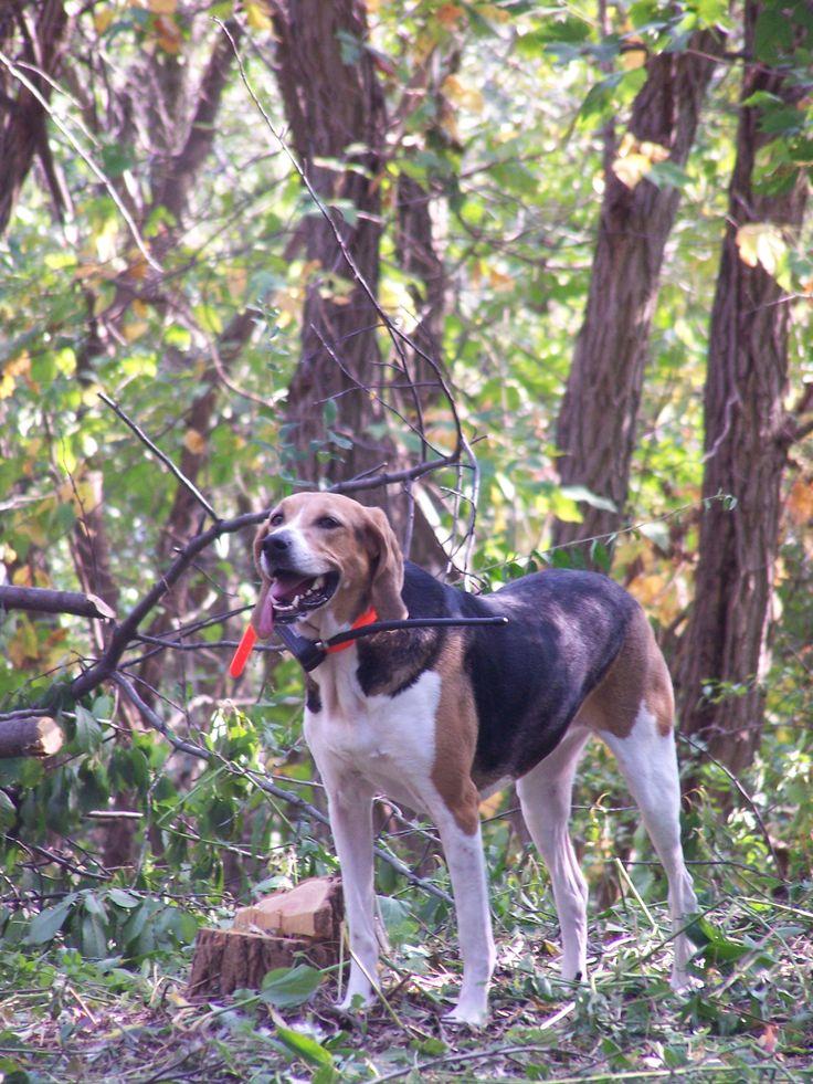 foxhound o perro de caza de zorros americano / American foxhound  http://es.wikipedia.org/wiki/Foxhound_americano  http://en.wikipedia.org/wiki/American_Foxhound