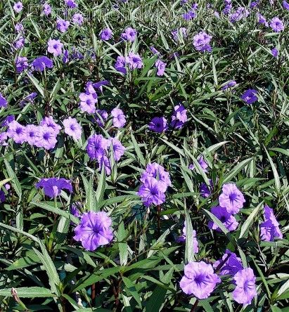 Mexican Petunia Purple Showers Beautiful Flowers