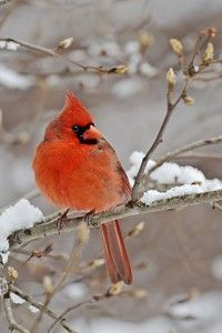 Best 25+ Red cardinal meaning ideas on Pinterest | Cardinals, The cardinals  and Cardinal birds