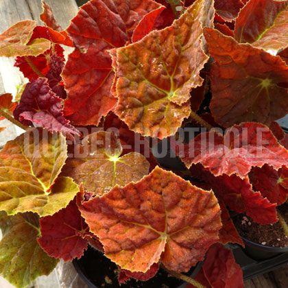image de Begonia Autumn Ember