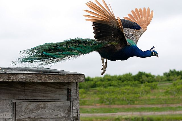 Peacock Flying | Peacock Flying