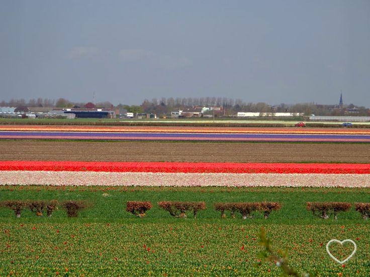 Faixas coloridas no horizonte. São imensos campos de tulipas, cada faixa de uma cor. Em Lisse, Holanda. #travel #traveling #trip #tourism #blog #blogdeviagem #oladobomdetudo