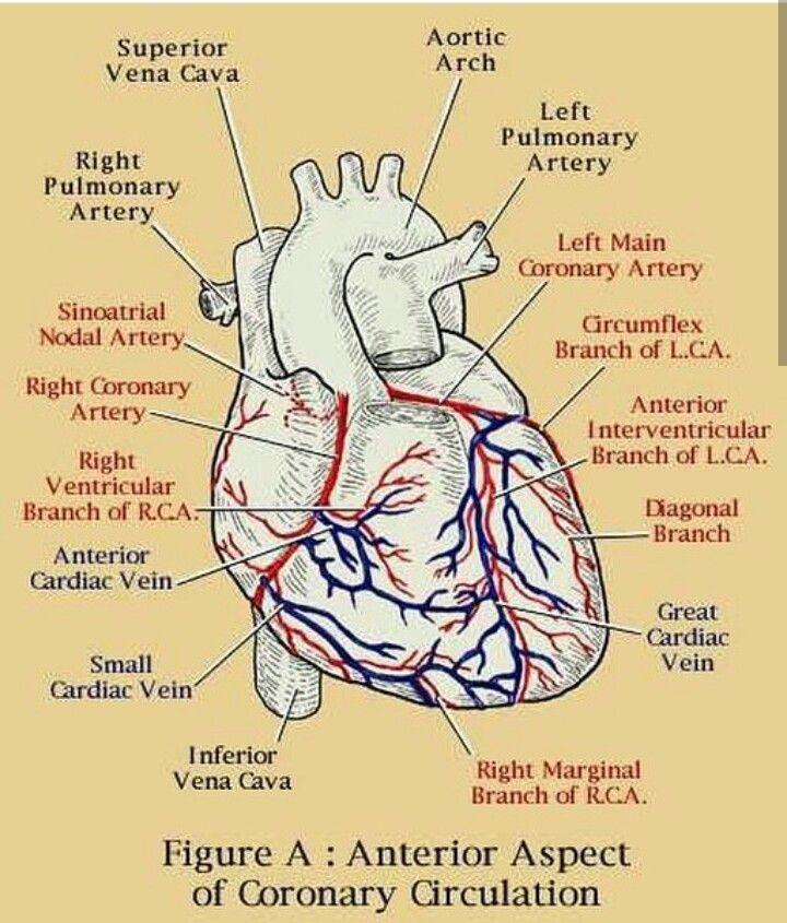 51 best Coronary Arteries images on Pinterest | Cardiac ...