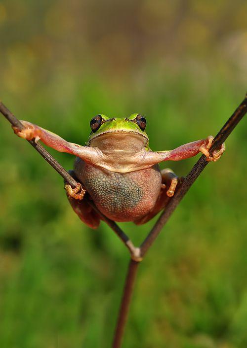 Quite a flexible frogFunny Frogs, Super Frogs, Frogs Stretch, Froggy Fun, Amazing Pics, Mustafa Öztürk, Lizards, Amphibians, Animal