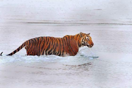 Photo of Royal Bengal Tiger at Sunderbans National Park