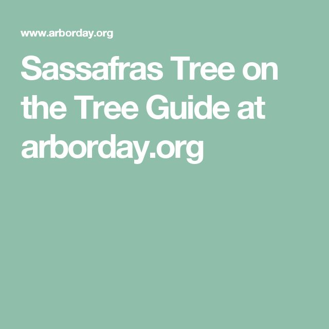 Sassafras Tree on the Tree Guide at arborday.org