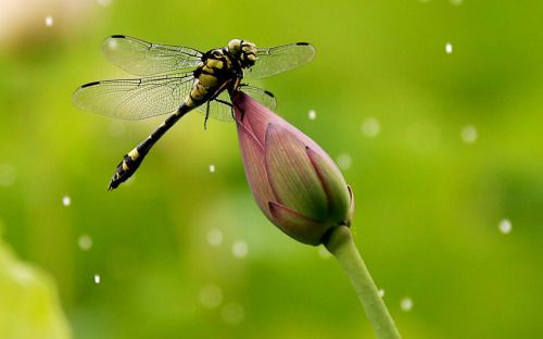"""""""A dragonfly rests on a lotus bud in a pond in the Yanpu Park in Huangshan City, east China's Anhui Province """" Picture: Barcroft Media (via Animal pictures of the week: 3 July 2015 - Telegraph)"""
