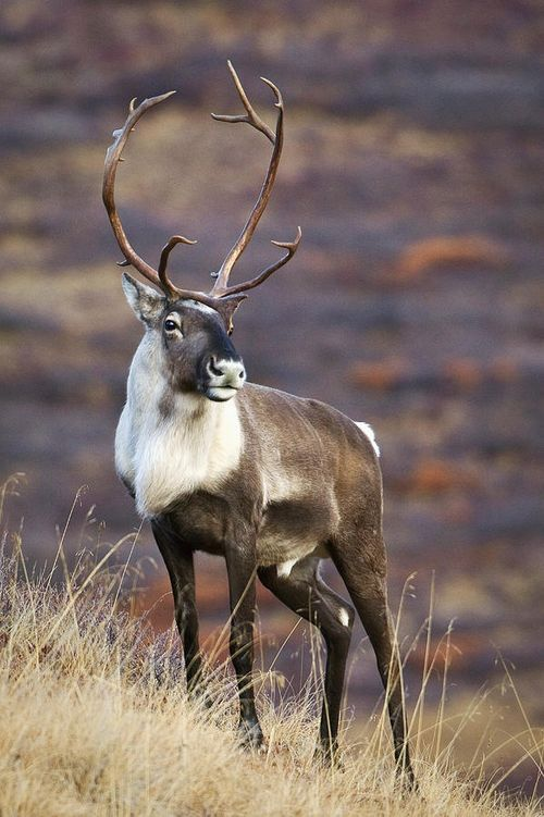 Look at that caribou!