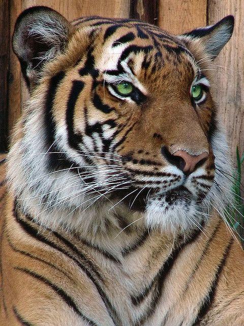 tiger, eyes, green, pattern, orange, fierce, calm