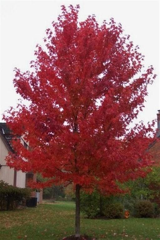 Red Sunset Red Maple - Why it rocks:  Red Sunset Red Maple is mostly planted for its spectacular red fall color. This tree is a show stopper, and it will have the neighbors wishing they had one in their yard as well! This tree has a desirable round shape with attractive green foliage in the summer that burst with color in the fall. For this tree's statistics please click on the Additional Details tab above.   Where to put it:  Red Sunset Red Maple should be planted where you can mos...