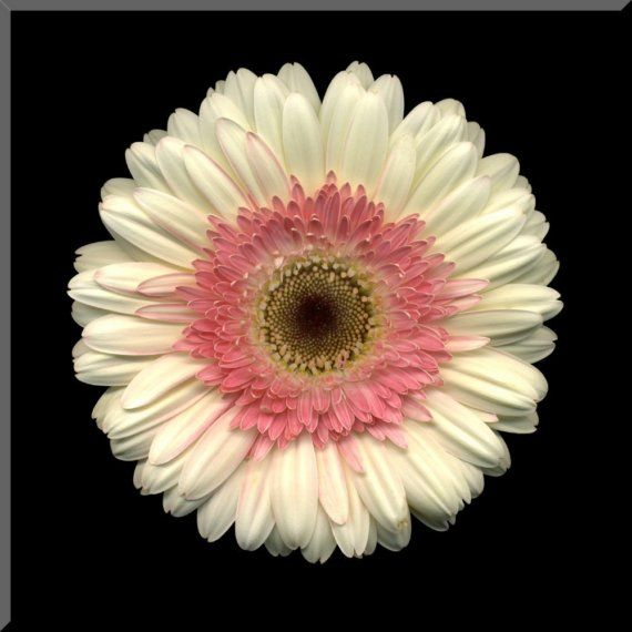 White And Pink Gerbera Daisy Wall Plaque