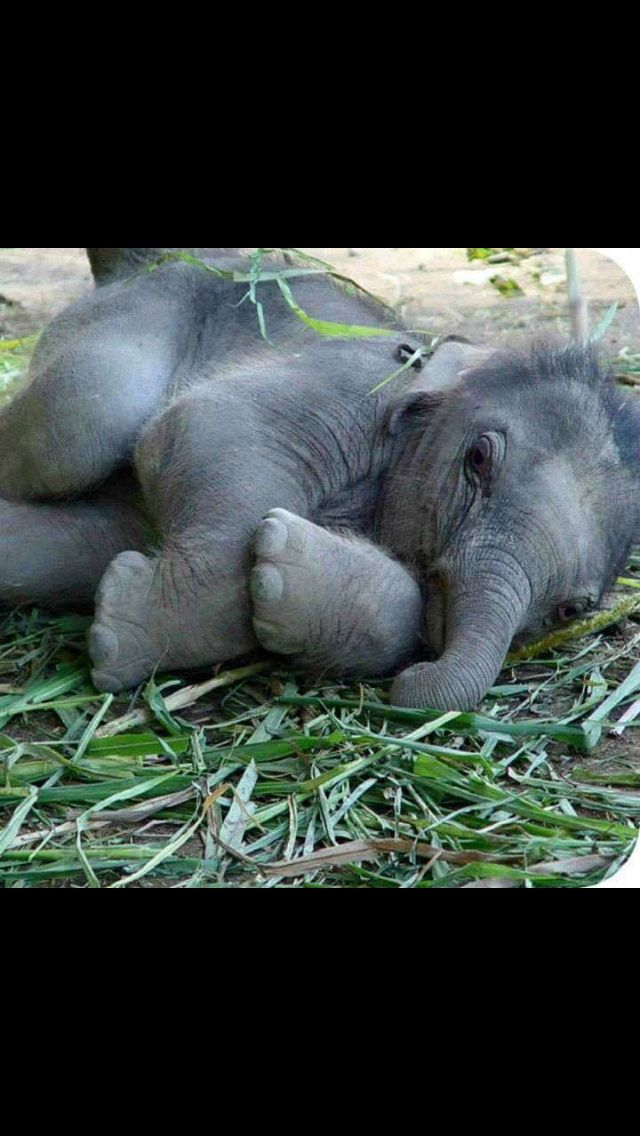 I cannot imagine how anyone would leave this baby #elephant without its Mom due to illegal #poachers #kills for #ivory tusks! NO CONSCIOUSNESS
