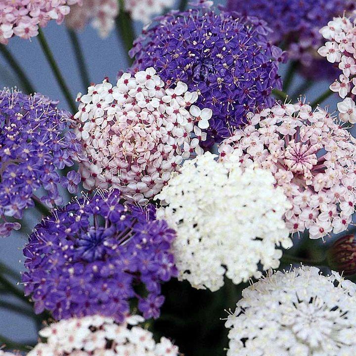 Didiscus Seeds - Madonna Mixed - New Flowers - Flowers - Garden - Dobies of Devon