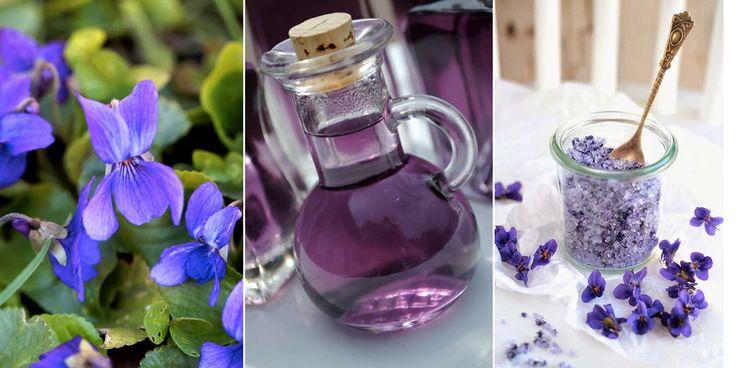 Luktviol är en medicinalväxt som går att plocka tidigt på våreni naturen. Luktvioler är även mycket lättodlade perennersom funkar sommarktäckare i halvskuggiga lägen eller i kruka.