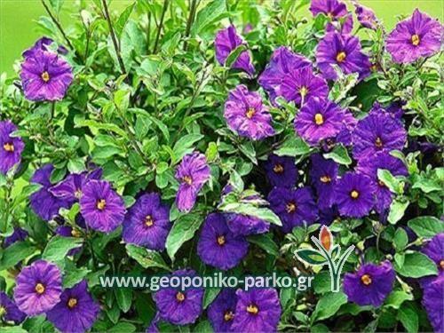 Αειθαλείς ανθοφόροι θάμνοι : Σολάνουμ μπλέ   Solanum rantonnetii