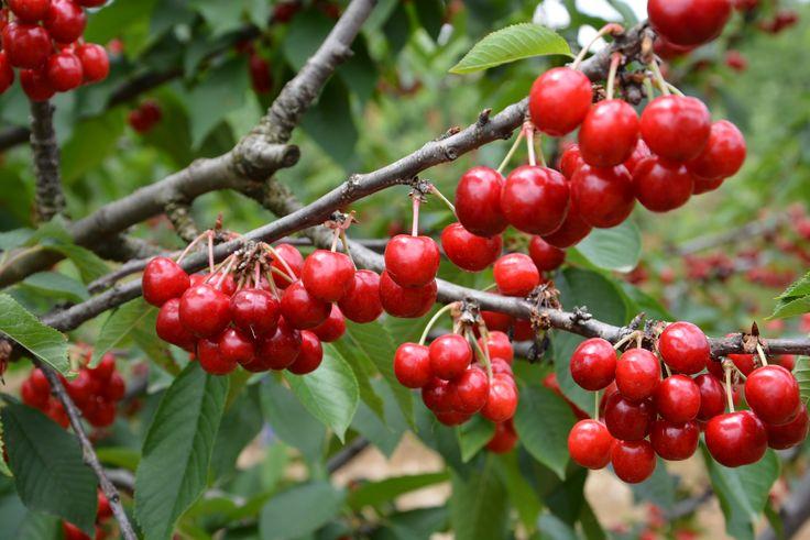 From a cherry orchard... Bir kiraz bahçesinden...