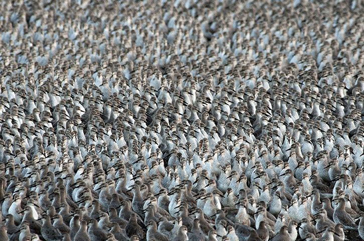 Credit: Tom Mason/Rex Features It looks like an optical illusion, in fact it's thousands of wader birds at the RSPB's Snettisham reserve in Norfolk. During the 'Snettisham spectacular', the huge flock creates amazing ripples and patterns as the birds huddle together