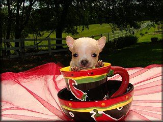 Teacup Chihuahua Puppies For Sale Chihuahua Breeder Puppies For Sale