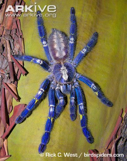 Peacock parachute spider