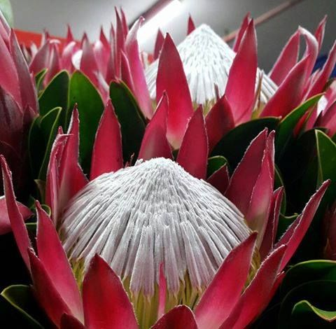 KING PROTEA - Madiba Red. Ruby red stunner from our SA farms #capeflora #redflower #redwedding #icecreamflower