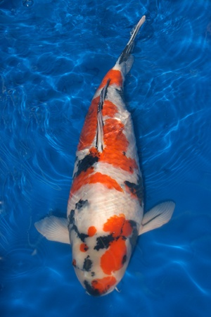 16 best images about beautiful koi fish on pinterest for Where to buy koi fish near me