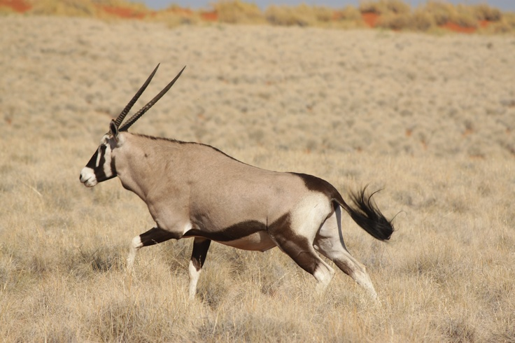 The famous Gemsbok - a common sight in #Namibia.
