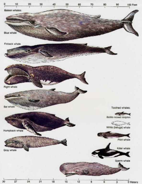 Blue Whale Teeth | Humpback Whale scientifically