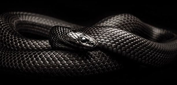 The Mexican black kingsnake (Lampropeltis getula nigrita) is a subspecies of the common kingsnake found in the Sonora and Sinaloa desert