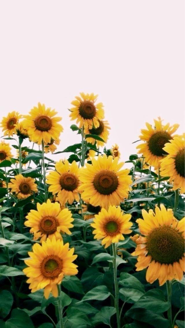 Aesthetic Sunflowers Flowers Yellow Vsco Retro