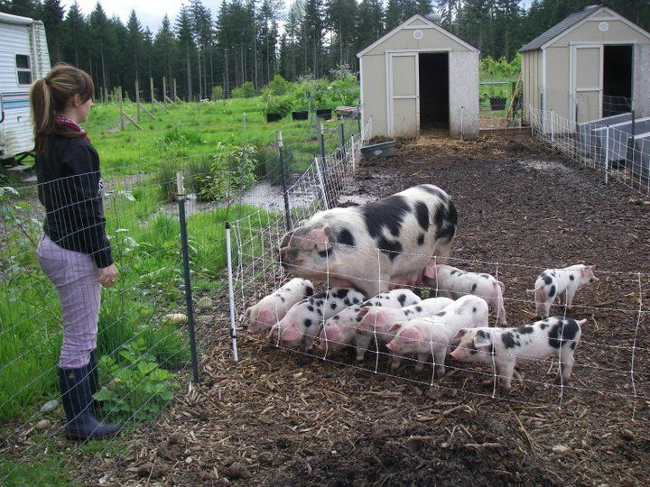 pigs gloucestershire spots meat pig breeds spot lean farm orchards orchard pork sandy hobby