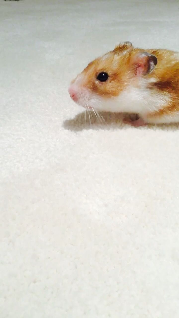 best hamster images on pinterest so cute hamsters and amigos
