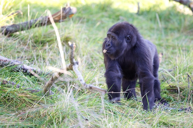 Kafi was hand reared by the animal care team in a gorilla nursery at Stuttgart Zoo in Germany.