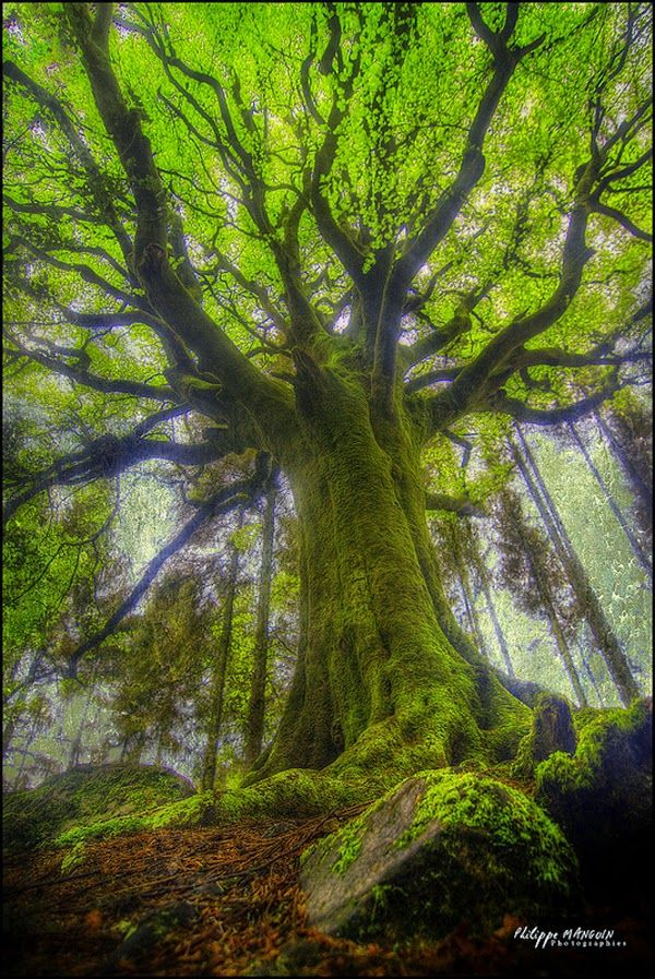 Gorgeous! The link doesn't work but the photo is still beautiful. A Mammoth Mossy Beech Tree of Ponthus', Bretagne France
