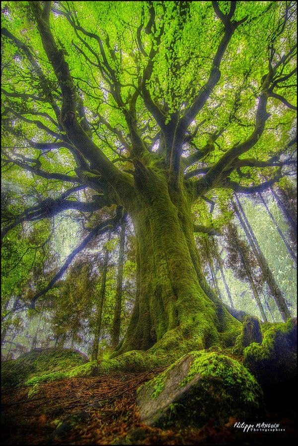 Un gigantesco cubierto de musgo del árbol de haya de Ponthus', Bretaña Francia