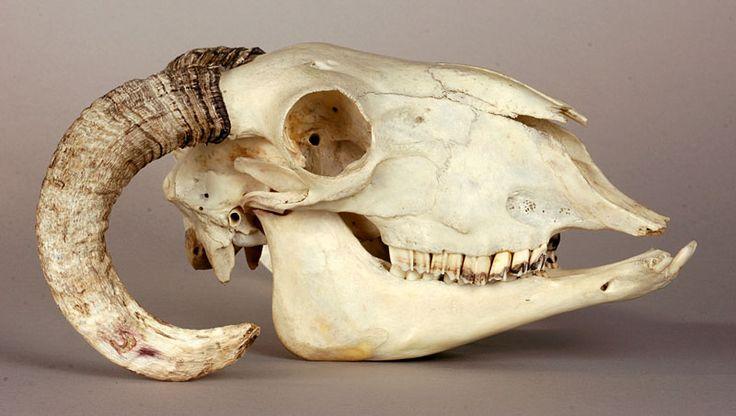 Sheep skull anatomy