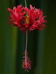 Hibiscus Schizopetalus (Coral or Fringed Hibiscus, Japanese Lantern) | por arifaqmal