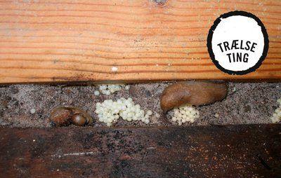 Juli: Bekæmp dræbersnegle NU – inden de lægger æg