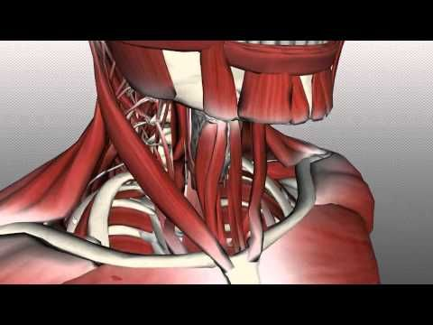 Infrahyoid Muscles  Sternohyoid  Sternothyroid  Thyrohyoid  Omohyoid