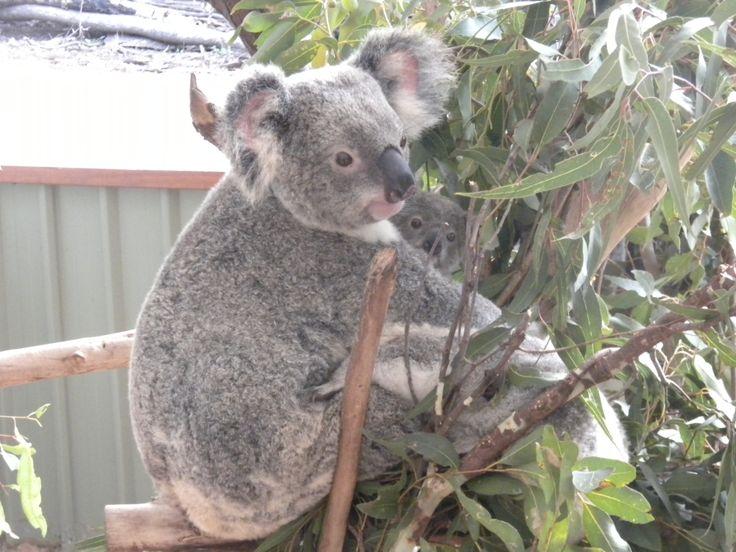 #Koala #Koalas #Baby #Joey Australia