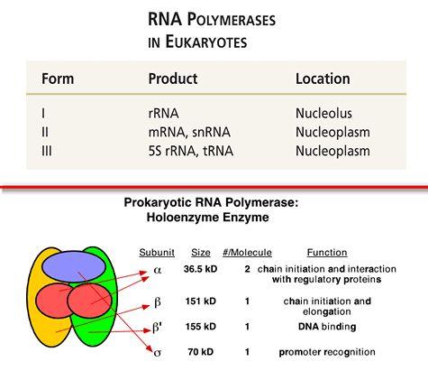 RNA polymerase in eukaryotes