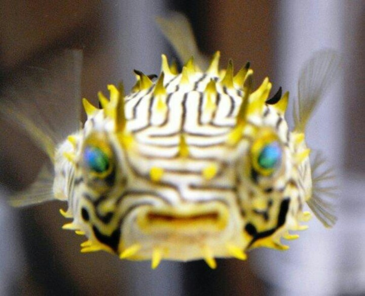 1000 images about puffer fish kogelvis on pinterest for Blowfish vs puffer fish
