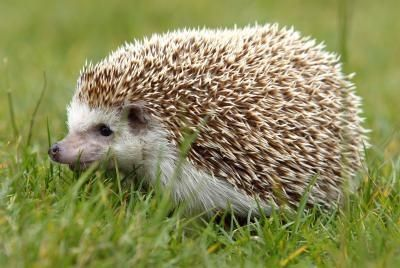African Pygmy Hedgehog Facts for Kids thumbnail