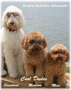 Labradoodle sizes ~ LOVE the mini!  Heard they are hypoallergenic and easily trained for people with special needs.....