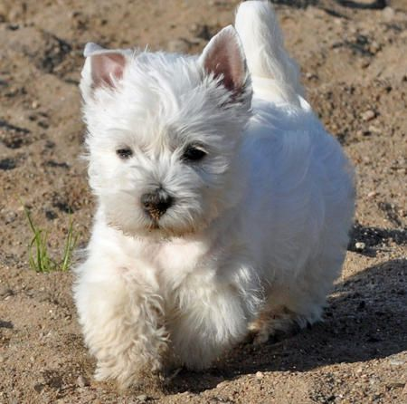 Bjanka the West Highland White Terrier from dailypuppy.com