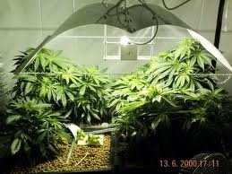 Indoor Marijuana Cannabis Plantation | theCTU.com