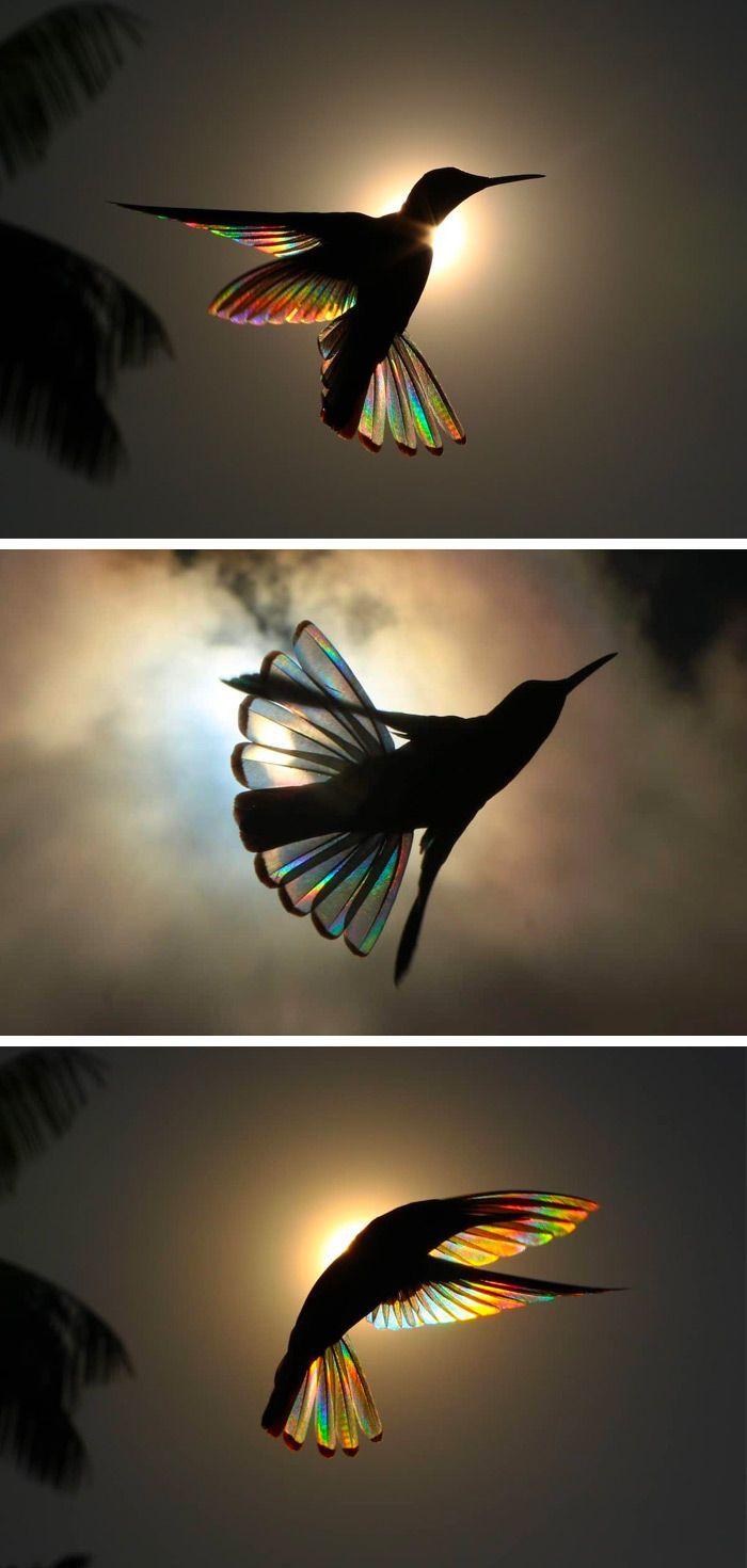 Ein Regenbogen des Lichts beugt sich durch Kolibri-Flügel in Fotografien von Ch…