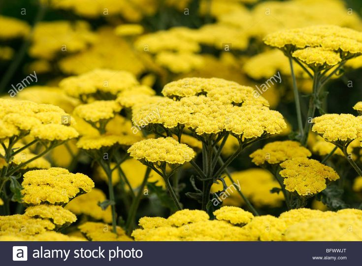 Achillea Yarrow Yarrow Flower Herbaceous Perennials Bloom Blossom